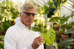 Male scientist in clean suit inspecting plant leaves. At greenhouse Stock Photo