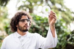 Male scientist examining leaf on petri dish. At greenhouse Stock Photos