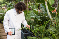 Male scientist examining plants at greenhouse. Male scientist examining plants while holding digital tablet at greenhouse Royalty Free Stock Images