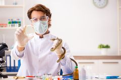 The male scientist extracting poison from snake for drug synthesis. Male scientist extracting poison from snake for drug synthesis stock photography