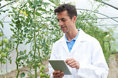 Male Scientist In Greenhouse Researching Tomato Crop. Male Scientist In Greenhouse Researches Tomato Crop Stock Photo