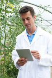 Male Scientist In Greenhouse Researching Tomato Crop. Male Scientist In Greenhouse Researches Tomato Crop Royalty Free Stock Images