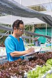 Male scientist Researcher Record Data Statistic. Of Fresh Green Oak Salad Lettuce Plantation on Chart Board as Hydroponics organic Agriculture Farming System Royalty Free Stock Images