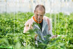Male scientist wearing protective clothing while examining plant. Scientist Examining Plants In Greenhouse Stock Image