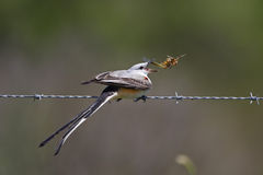 Male Scissor-tailed Flycatcher Eating a Locust. Male Scissor-tailed Flycatcher (Tyrannus forficatus) Perched on a Barbed Wire Fence Eating a Locust - Texas Royalty Free Stock Photos