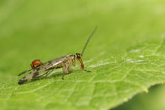 A male Scorpion Fly Panorpa communis perched on a leaf. Stock Images