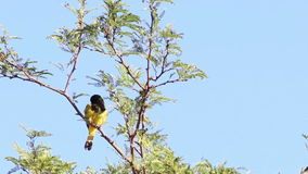 Male Scotts Oriole Bird In Tree Royalty Free Stock Photos