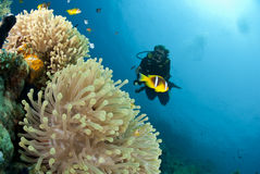Male scuba diver observing a sea anemone. Royalty Free Stock Photo
