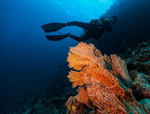 Male scuba diver underwater. Examine closely coral reef Stock Images