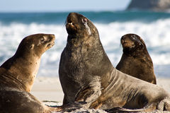 Male sea lion. Sea lion males on beach close-up, new zealand Stock Photography