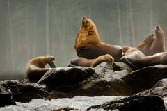 Male Sea Lion. Male Steller Sea Lion On Rock Outcrop Surrounded by Other Lions Stock Images