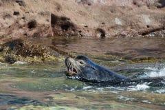 Male sea lion Royalty Free Stock Photos