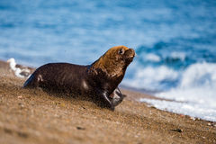 Male sea lion on the beach. Patagonia sea lion portrait seal on the beach Royalty Free Stock Photo