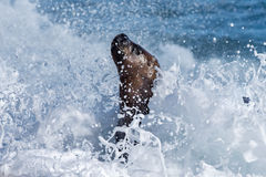 Male sea lion on the beach. Patagonia sea lion portrait seal on the beach Stock Photos