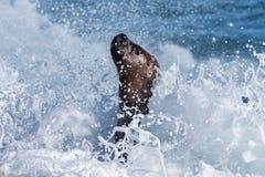 Male sea lion on the beach Stock Photos
