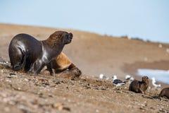 Male sea lion on the beach Royalty Free Stock Photos