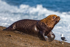 Male sea lion on the beach running away. Patagonia sea lion portrait seal on the beach while escaping from fight Royalty Free Stock Image