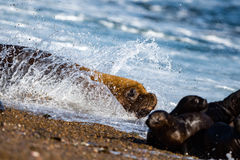 Male sea lion on the beach running away. Patagonia sea lion portrait seal on the beach while escaping from fight Stock Photo