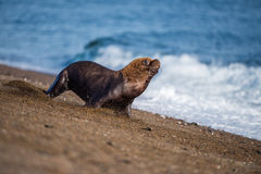 Male sea lion on the beach running away. Patagonia sea lion portrait seal on the beach while escaping from fight Royalty Free Stock Photo