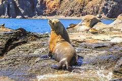 Male Sea Lion. California sea lion, Zalophus californianus, on the rocks. Isla Coronado near Loreto in Baja California, Mexico Stock Photos