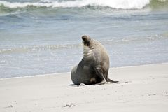 This is a male sea lion. The male sea lion has just come out of the water and is walking on the sand at Seal Bay, Australia royalty free stock photography