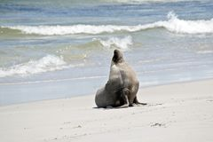 This is a male sea lion. The male sea lion has just come out of the water and is walking on the sand at Seal Bay, Australia stock photos