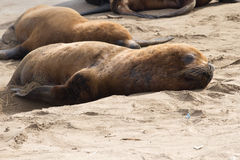 Male sea lion that lies on the sand beach of the Atlantic. Ocean Stock Images