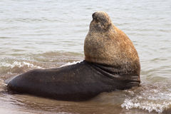 Male sea lion that lies in the water of the Atlantic Royalty Free Stock Photography