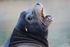 Male Sea Lion. A male Sea Lion portrait Royalty Free Stock Image