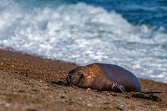 Male sea lion relaxing on the beach. Patagonia seal male sea lion relaxing on the beach Royalty Free Stock Images