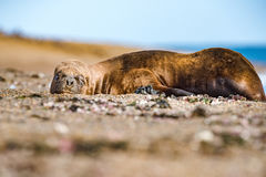 Male sea lion relaxing on the beach. Patagonia seal male sea lion relaxing on the beach Stock Photo
