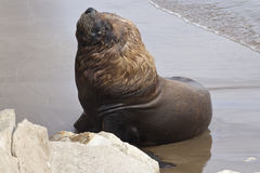 Male sea lion resting on the beach Royalty Free Stock Image