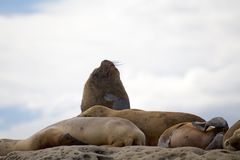Male sea lions on the rock in the Valdes Peninsula, Atlantic Ocean, Argentina royalty free stock image
