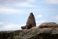 Male sea lion on the rock in the Valdes Peninsula, Atlantic Ocean, Argentina. Male sea Lion on the rock near Puerto Piramides in the Valdes Peninsula, on the Stock Image
