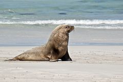 A male sea lion. The sea lion is walking along the sandy beach Stock Photos