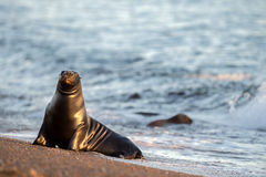 Male sea lion seal portrait on the beach. Big Male sea lion seal on Patagonia beach Stock Images