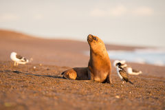 Male sea lion seal portrait on the beach Royalty Free Stock Images