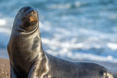 Male sea lion seal portrait on the beach. Big Male sea lion seal on Patagonia beach Royalty Free Stock Image