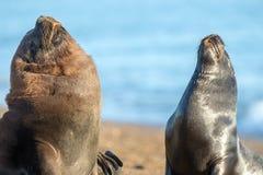 Male sea lion seal portrait on the beach Stock Photos