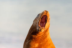 Male sea lion seal while roaring. Big Male sea lion seal on Patagonia beach Royalty Free Stock Photography
