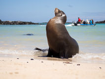 Male sea lion and tourists, Galapagos Islands. Male sea lion on the beach with tourists in the background, Santa Fe Island, Galapagos Royalty Free Stock Photos