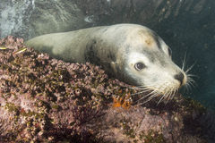 Male sea lion underwater looking at you. Male sea lion seal close up portrait underwater Stock Photography