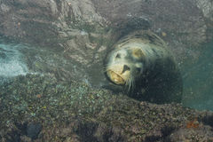 Male sea lion underwater looking at you. Male sea lion seal coming to you underwater Stock Photography
