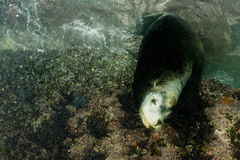 Male sea lion underwater looking at you. Male sea lion seal coming to you underwater Stock Image