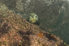 Male sea lion underwater looking at you Stock Images