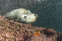 Male sea lion underwater looking at you Royalty Free Stock Image