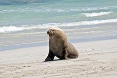 A male sea lion. The male sea lion is walking along the sandy beach Stock Photo