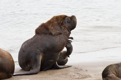 Male sea lion who scratched sitting on the beach of the Atlantic. Ocean Stock Image