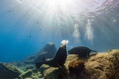 Male sea lions fighting underwater Stock Photos
