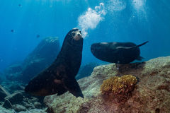 Male sea lions fighting underwater. Californian Male sea lion seal while fighting for territory underwater Royalty Free Stock Photos